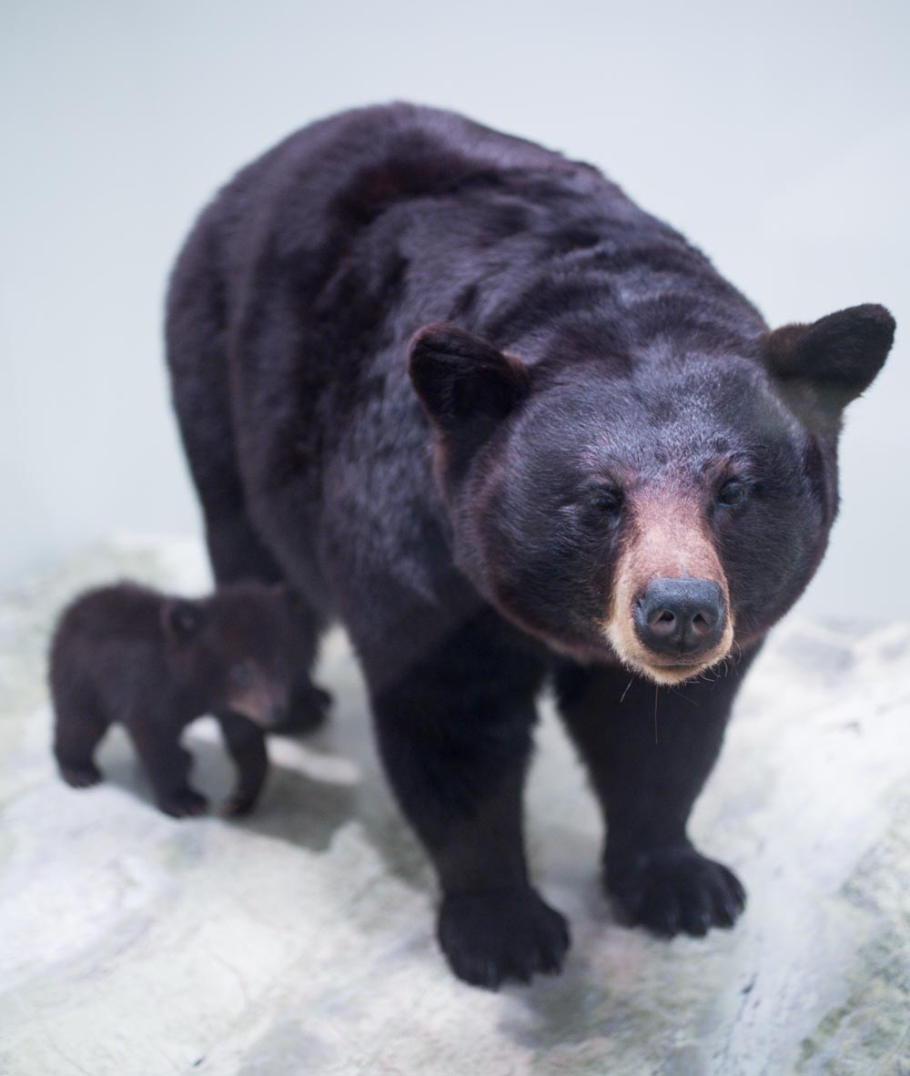 Washington National History Museum Mama and Baby Bear